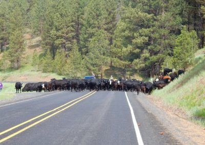 picture of cattle drive